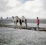 Camel Farming