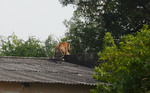 Tiger Spotted on the Roof in Bhopal