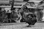 Chicken Shit Bingo - Sunday In The Country